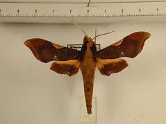 Callionima nomius mâle
