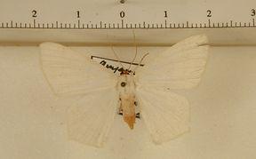 Sericoptera penicillata mâle