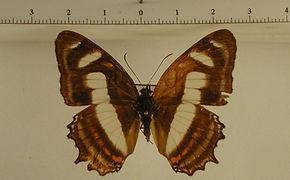 Metamorpha elissa mâle
