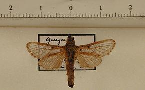 Psychonoctua albogrisea mâle
