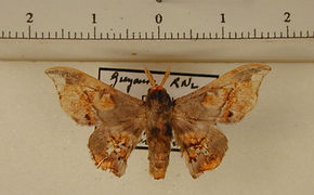Arianula haxairei mâle