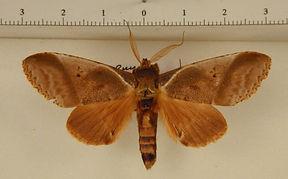 Arpema phaleroides mâle