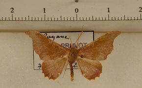 Patalene aenethusaria mâle