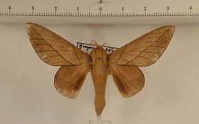 Citioica anthonillis mâle