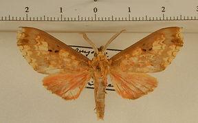 Echeta trinotata mâle