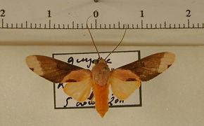 Phaeomolis tavakiliani mâle