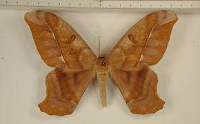 Arsenura thomsoni mâle