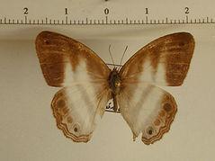 Pareuptychia lydia mâle