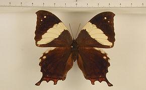 Hypna clytemnestra clytemnestra femelle