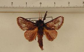 Acharia lophostigma mâle