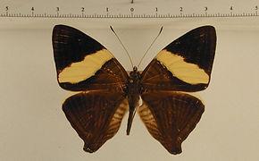 Colobura annulata mâle