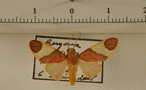 Trichromia lucens mâle