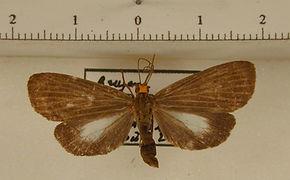 Scotura intermedia mâle