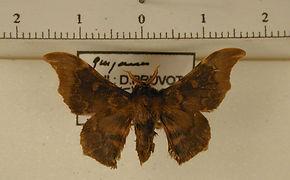 Lacosoma briasia mâle