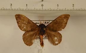 Hylesia subcottica mâle