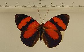 Temenis pulchra pallidior mâle