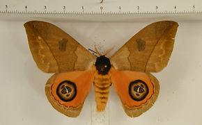 Automeris liberia mâle