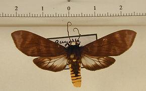 Pachydota punctata mâle