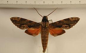Erinnyis oenotrus mâle