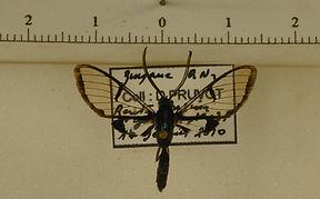 Riccia aliaria mâle