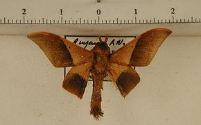 Psychocampa kohlii mâle