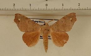 Olceclostera amoria mâle