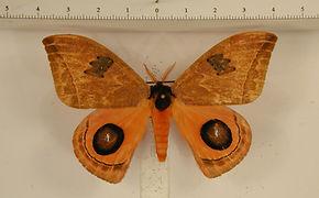 Automeris moresca mâle