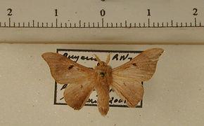 Cicinnus montagnaniae mâle