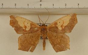 Paragonia cruraria mâle