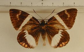 Haemonides licus pauperata mâle