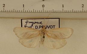 Macroptila pogonoda mâle