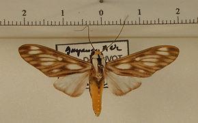 Robinsonia boliviana mâle