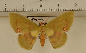 Rhodochlora brunneipalpis mâle