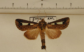 Notoplusia minuta mâle