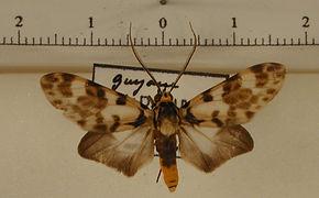 Heliura flava mâle