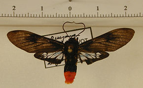 Thysanoprymna haemorrhoides mâle