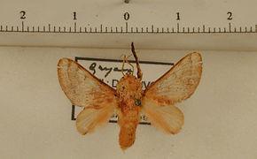 Pseudovipsana invera mâle