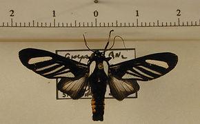 Rhipha strigosa mâle