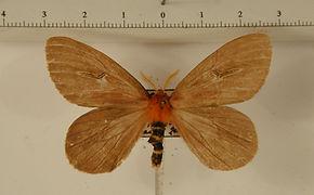 Cerodirphia speciosa mâle