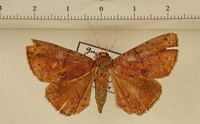 Dyomyx cimolia mâle