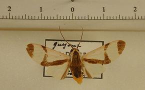 Pryteria alboatra mâle