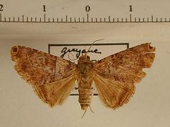 Coenipeta bibitrix mâle