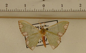 Oospila carnelunata mâle