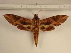 Eumorpha anchemolus mâle