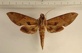 Eumorpha satellitia licaon mâle
