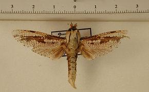 Morpheis pyracmon mâle