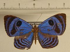 Semomesia capanea capanea mâle