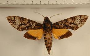 Isognathus menechus mâle