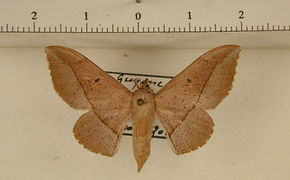 Procinnus cahureli mâle