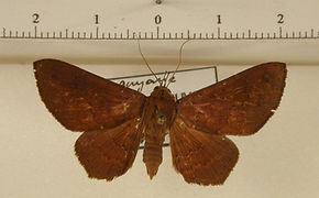 Euclystis deterrima mâle